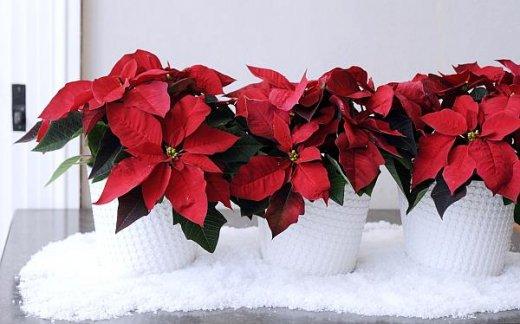 Gwiazda betlejemska - kwiat, który buduje świąteczny klimat