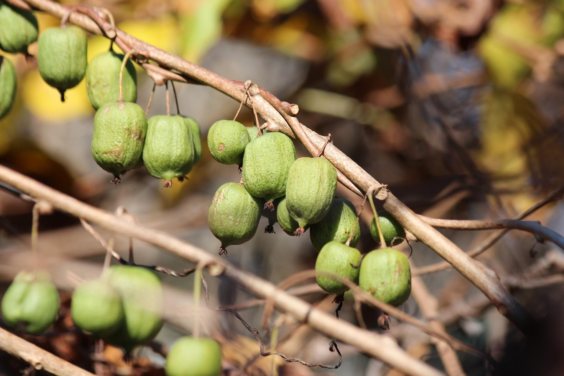 Aktinidia pstrolistna (mini kiwi) - uprawa