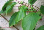 Minik kiwi - uprawa w Twoim ogrodzie