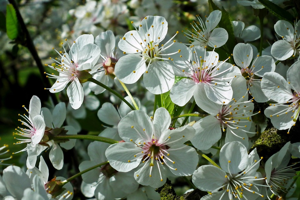 Czereśnia w czasie kwitnienia