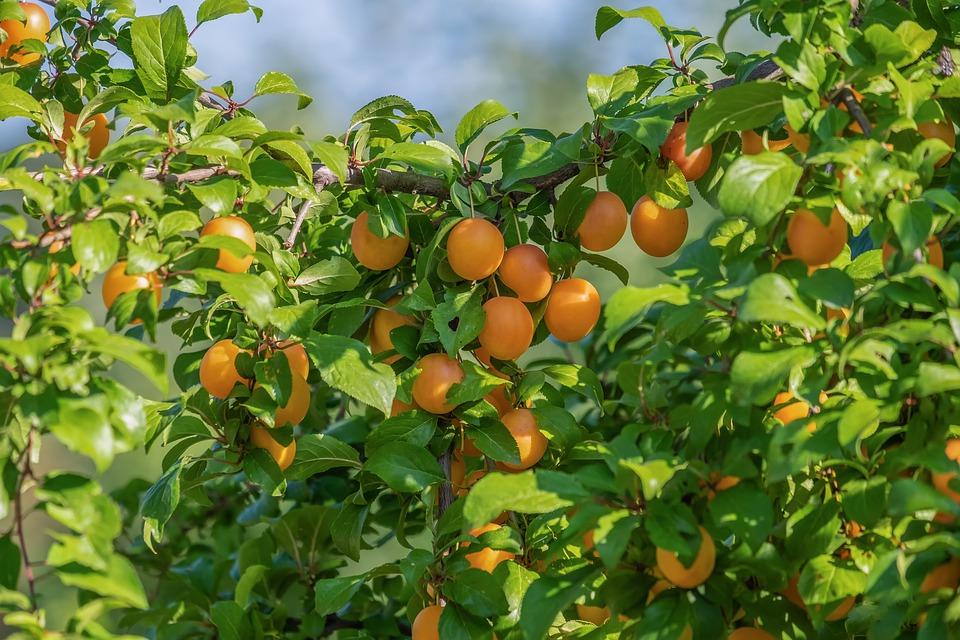 Dorodna śliwa - jakie drzewa owocowe do ogrodu wybrać?