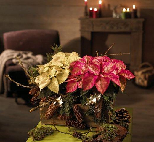 Gwiazda betlejemska - idealna dekoracja na święta