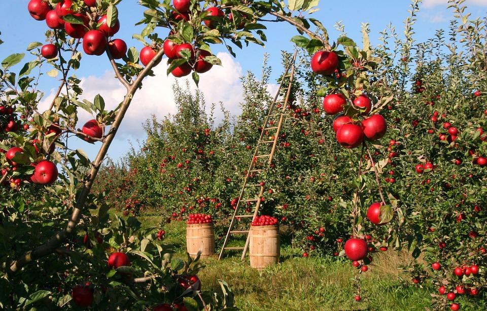 Jak sadzić jabłonie?