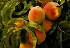 Jak zapobiec chorobbie brzoskwini
