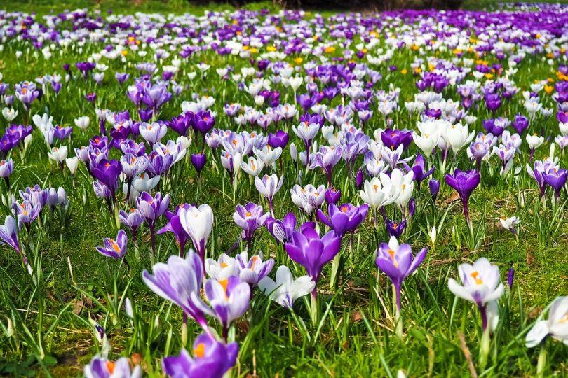 Krokusy - kolorowe kwiaty wiosenne w ogrodzie