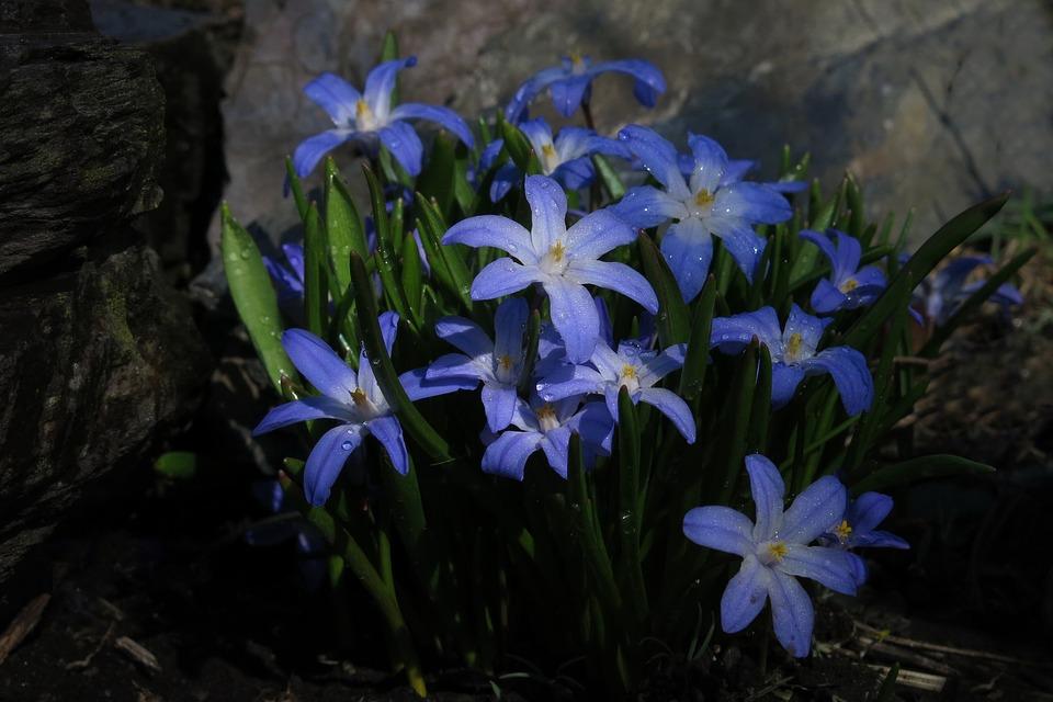 Oryginalny kwiat wiosenny - śnieżnik
