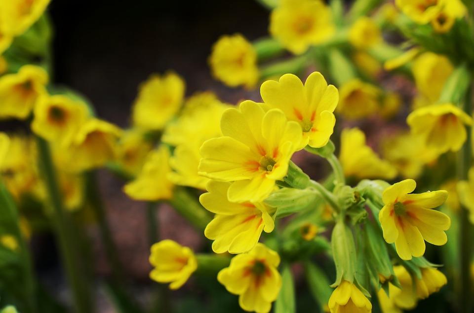 Pierwiosnki - wiosenne kwiaty w ogrodzie
