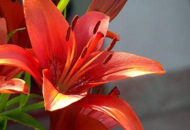 Lilia azjatycka czerwona