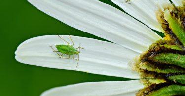 Mszyce - zielone robaczki na kwiatach