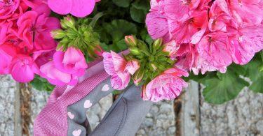 Pelargonia różowa
