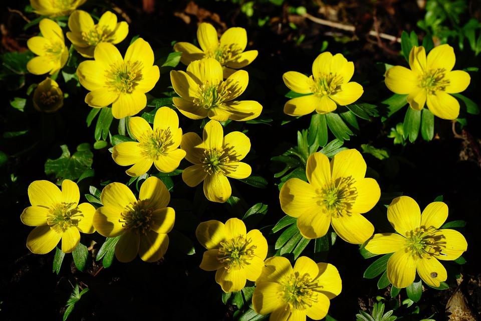 Pierwsze kwiaty wiosny - ranniki zimowe