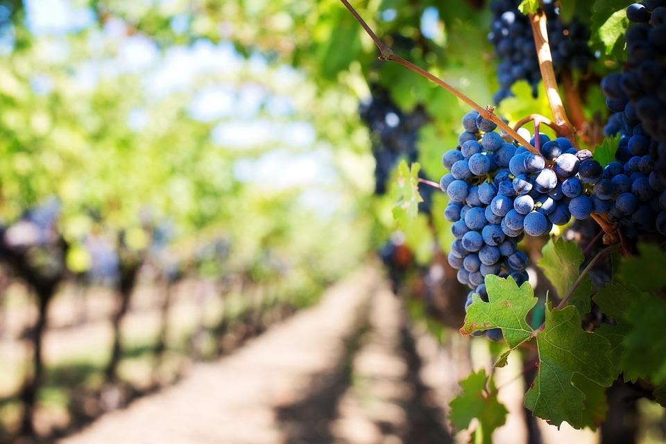 Plantacja winogron