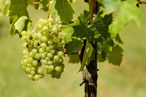 Sadzenie winogron ma sens