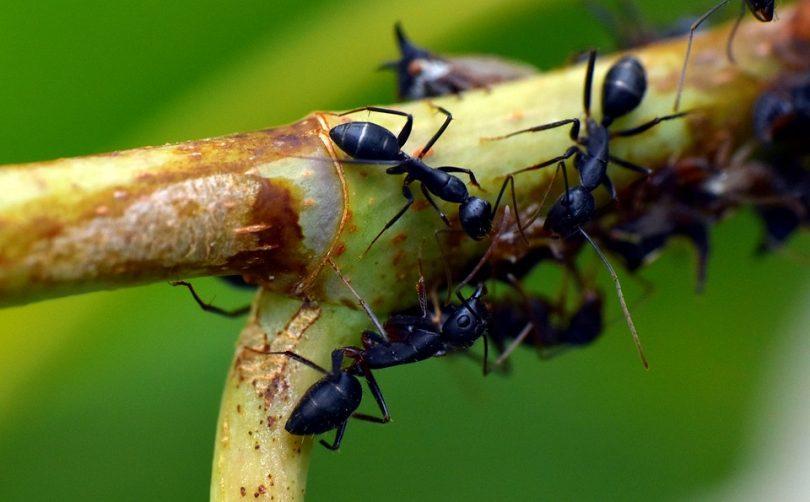 Sposób na mrówki w domu i ogrodzie