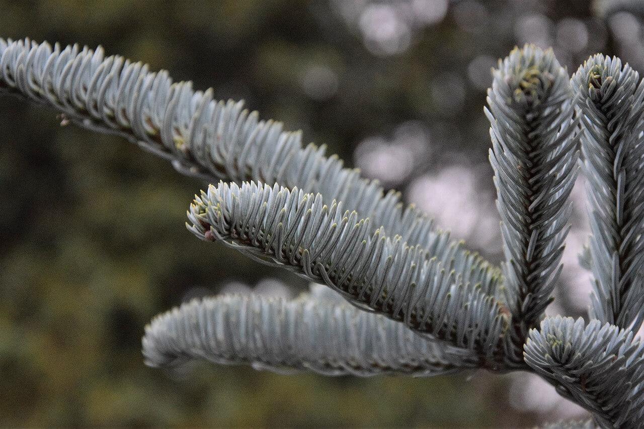 Świerk srebrny