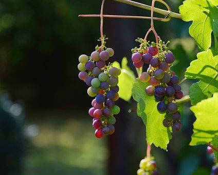 Winorośl - uprawa