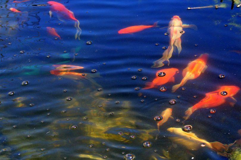 Zdrowe rybki w oczku wodnym