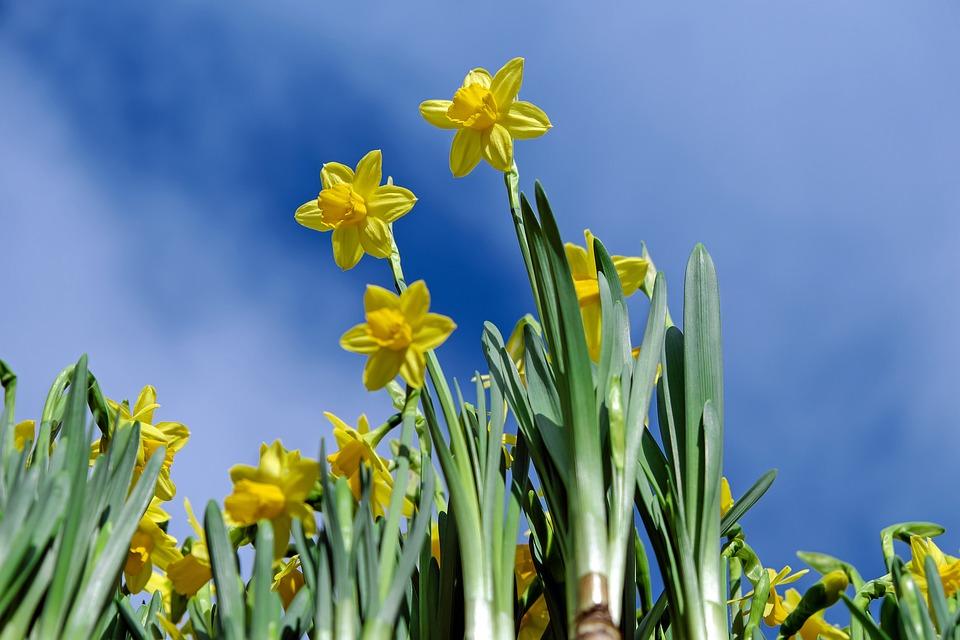 Żonkile - żółte kwiaty wiosenne, których nie trzeba nikomu przedstawiać